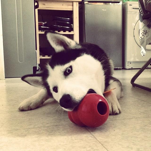 Eïko et son nouveau jouet Kong